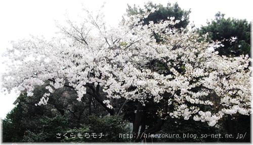 01sakura.jpg